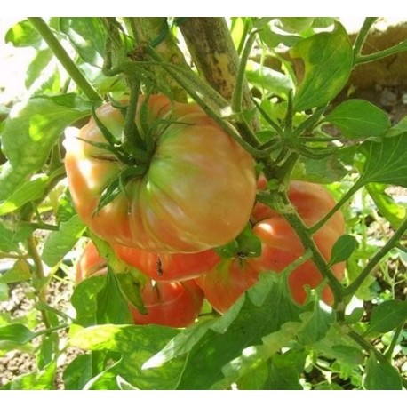 1 kg Pomodoro Insalataro