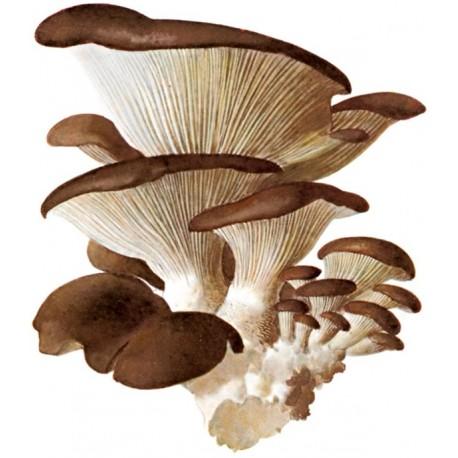 Funghi Plerotus 500 gr